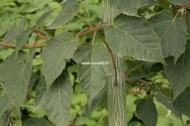 Acer davidii 'Mindavi' (VIPER)