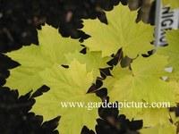 Acer platanoides 'Prigo' (PRINCETON GOLD)