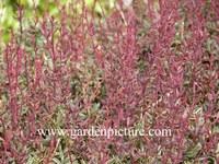 Berberis stenophylla 'Claret Cascade'