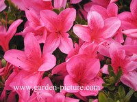 Rhododendron 'Gaiety' (Azalea)