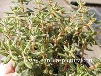 Rhododendron groenlandicum 'Compactum'