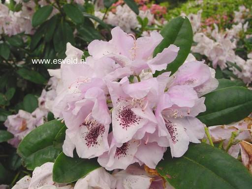 Rhododendron 'Priska'