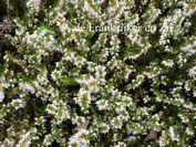 Erica darleyensis 'White Perfection'
