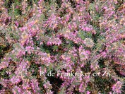 Erica carnea 'Praecox Rubra'
