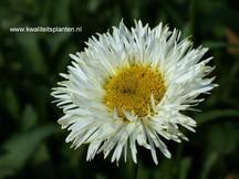 Leucanthemum 'Real Galaxy'