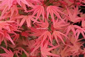 Acer palmatum 'Hino-tori-nishiki'