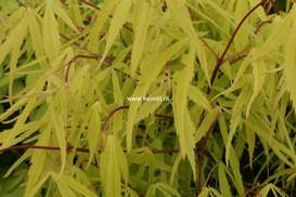 Acer palmatum 'Iso-shibuki'