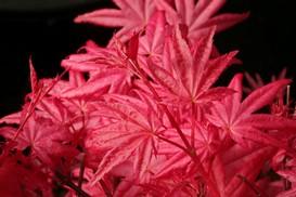 Acer palmatum 'Happy Corallinum'