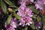 Rhododendron 'Caroline Allbrook'