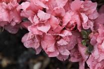 Rhododendron 'Rokoko' (Azalea)