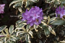 Rhododendron 'Carolina Spring'