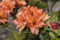 Rhododendron 'Gena Mae' (Azalea)