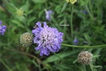 Scabiosa columbaria 'Blue Note'
