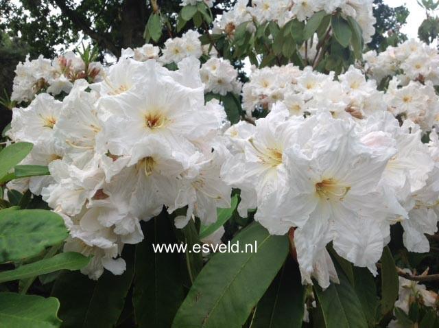 Rhododendron 'Argosy'