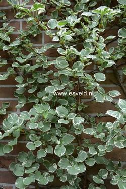 Hydrangea anomala 'Silver Lining'