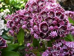 Kalmia latifolia 'Latchmin'