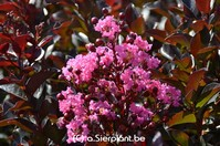 Lagerstroemia indica 'Rhapsody in Pink'