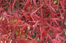 Acer palmatum 'Keiser'