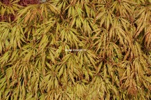 Acer palmatum 'Usu-beni-shidare'