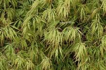 Acer palmatum 'Alloys'
