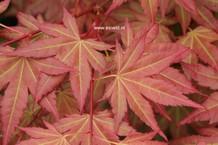 Acer palmatum 'JWW7' (BROWN SUGAR)