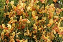Cytisus 'Apricot Gem'