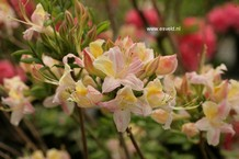 Rhododendron 'Comte d'Egmont' (Azalea)