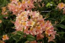 Rhododendron 'Delicata' (Azalea)