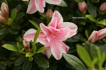 Rhododendron 'Melle'