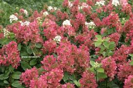 Hydrangea paniculata 'Bokraplume' (MAGICAL FIRE)
