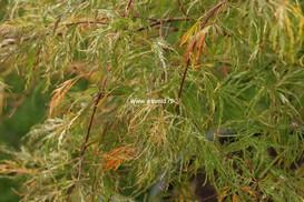Acer palmatum 'Beni-shidare'