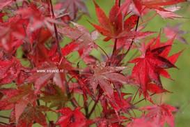 Acer palmatum 'Going Red'