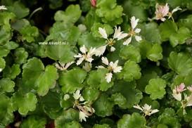 Saxifraga cortusifolia 'Cheap Confection'