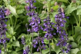 Salvia 'Balsalmisp' (MYSTIC SPIRES BLUE)