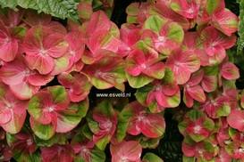 Hydrangea macrophylla 'Qufu' (MAGICAL GREENFIRE)