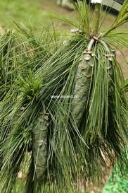 Pinus schwerinii