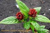 Calycanthus floridus 'Michael Lindsay'