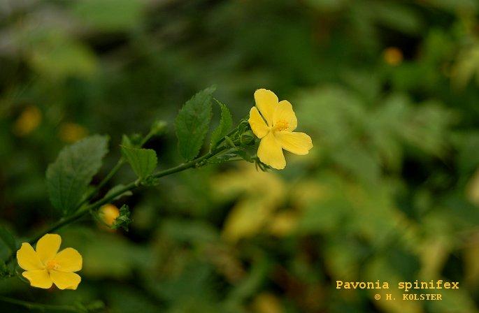 Pavonia