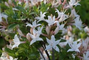 Rhododendron viscosum