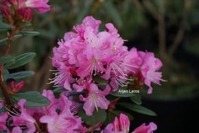 Rhododendron 'Anna Baldsiefen'