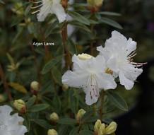 Rhododendron flavidum 'Albiflorum'