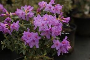 Rhododendron hippophaeoides 'Fimbriatum'