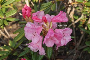 Rhododendron 'Woodcock'