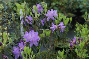 Rhododendron 'St. Tudy'