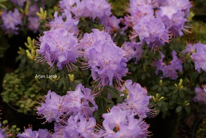 Rhododendron 'Blue Stone'