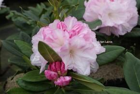 Rhododendron 'Aprilleuchten'