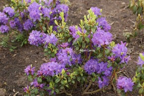 Rhododendron 'St. Minver'