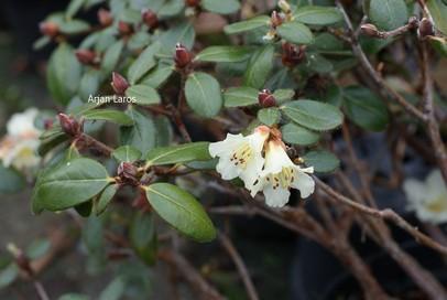 Rhododendron megeratum
