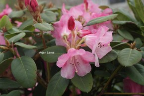Rhododendron 'Temple Belle'