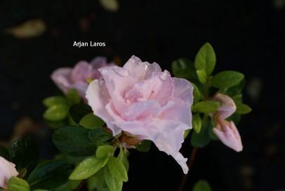 Rhododendron 'Sirikit' (Azalea)